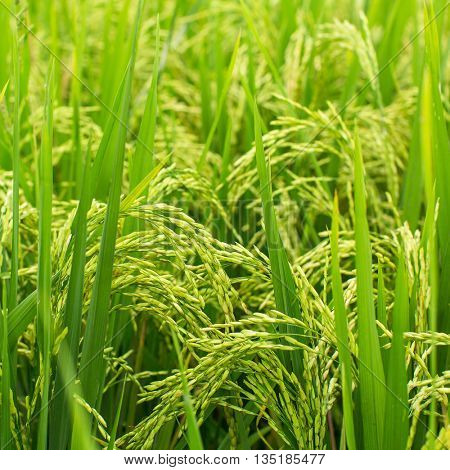 Ears of corn closeup on green rice field.