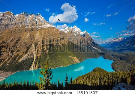 "Canada. The turquoise lake  Peyto in Banff National Park. Mountain Lake as a ""wolf head"" is popular among tourists"