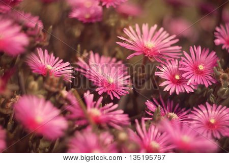 Beautiful pink flowers in the garden, selective focus