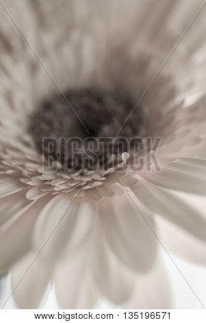 Pink Gerber Daisy up close in macro mode