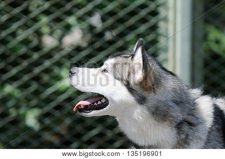 Eskimo dog (husky) outdoor summer portrait over blurry background