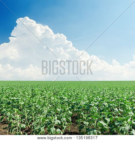green sunflower field and cloud over it