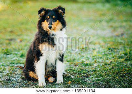 Shetland Sheepdog, Sheltie, Collie Puppy Sit In Grass Outdoor