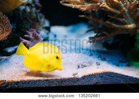 Zebrasoma Yellow Tang Sea Fish In Aquarium.