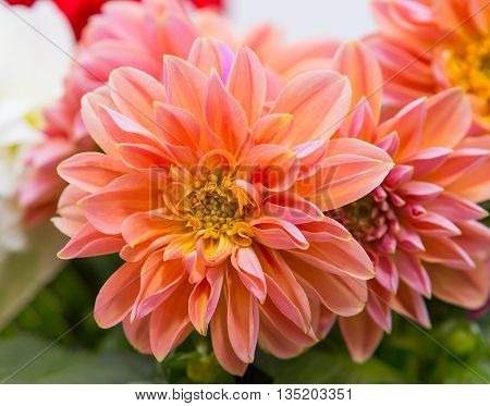 Closeup Of A Beautifull Dahlia Blossom.