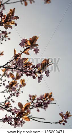 Cherry flowers in the sunny spring garden