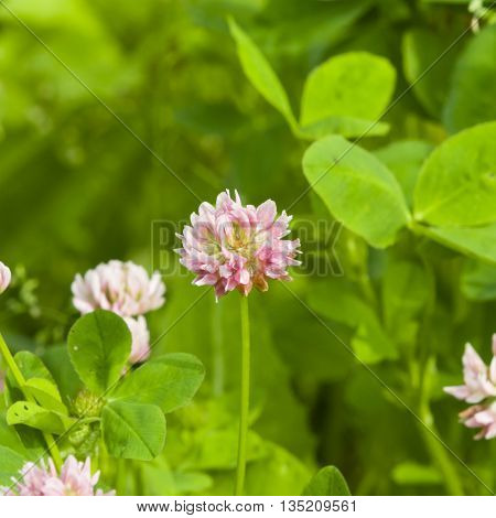 Flowers of Red Clover Trifolium pratense with bokeh background macro selective focus shallow DOF