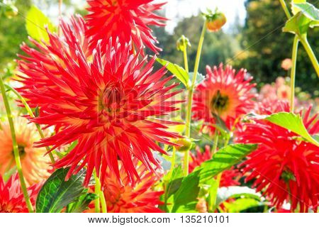 Red Dahlia Flowers In Point Defiance Park In Tacoma
