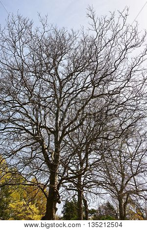 The big tree without leaves in spring