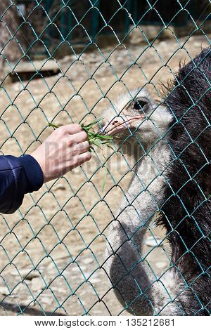 Feeding Of Ostrich In Zoo