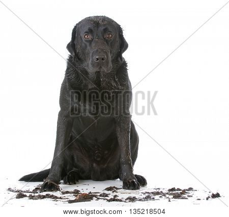 muddy dirty dog sitting on white background