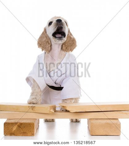 american cocker spaniel puppy dressed like a karate kid on white background