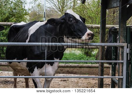 Black and white cow in the cowshed.