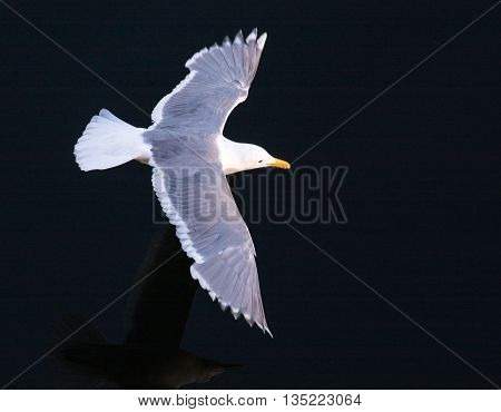 A seagull flies across the water at the Locks in Seattle