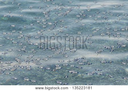 Numerous jellyfish Velella pushed by the current and the wind towards the shore