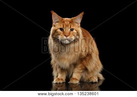 Ginger Maine Coon frightened Cat Sitting and Curious Looking in Camera Isolated on Black Background, Front view
