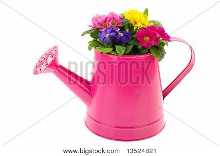 Pink Watering Can With Colorful Primroses