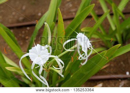Hymenocallis Amaryllis white flowers in the Caribbean