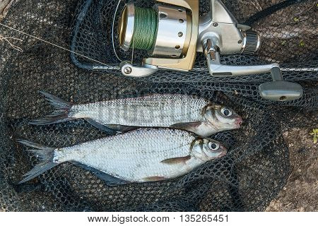 Several Silver Bream Or White Bream Fish On The Fishing Net. Catching Freshwater Fish And Fishing Ro