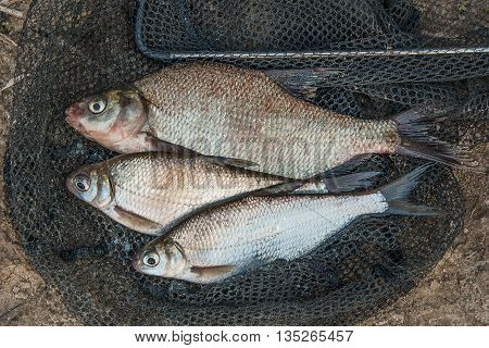 Several Common Bream Fish And Silver Bream Or White Bream Fish On Fishing Net.