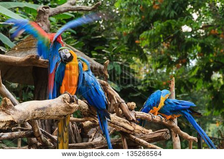 Colorful red and blue macaw perched on a branch in zoo.