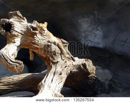 Lioness resting on the trunk of a deadwood near the cliff
