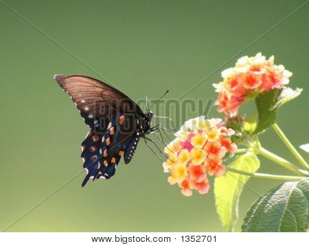 delicate brown/black butterfly and multicolor lantana with green background poster
