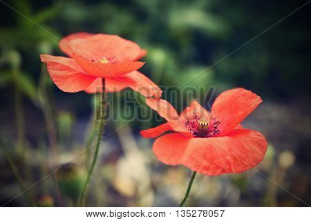 Beautiful blooming poppies close up. (Papaver rhoeas)
