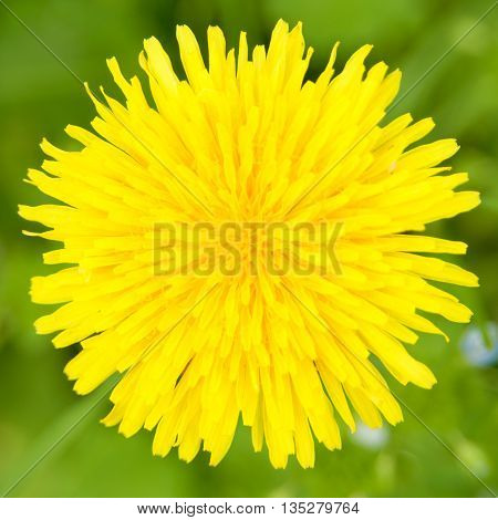 Dandelion blossom close-up. Shallow depth of field. Dandelion (Taraxacum) is sort of medicinal herb from family Asteraceae