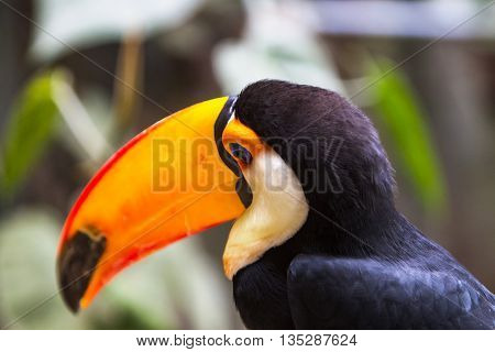 Toco Toucan (Ramphastos toco) close-up on head