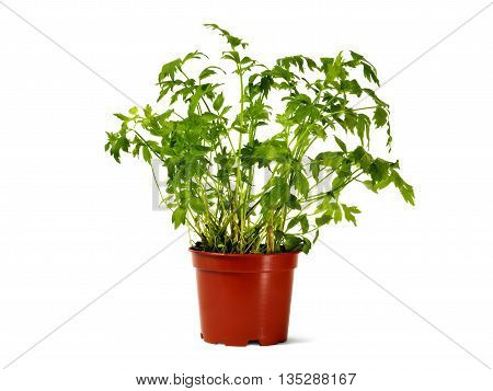 Lovage in flower pot isolated on white background