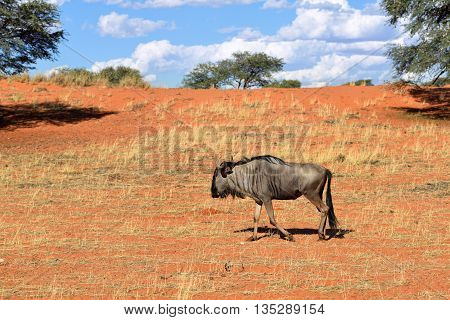 Blue wildebeest Connochaetes taurinus big animal in the nature habitat Namibia Kalahari desert Africa
