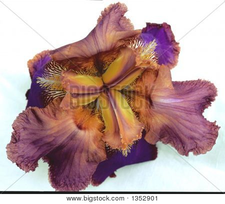Pink And Yellow Iris