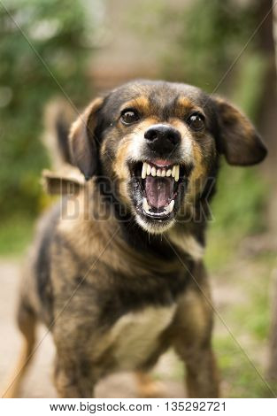 Enraged aggressive angry dog. Grin jaws with fangs hungry drool.