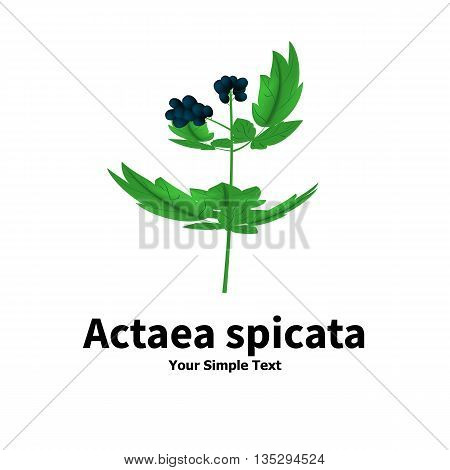 Vector illustration of a poisonous plant. Plant with poisonous berries Actaea spicata. Isolated on white background.