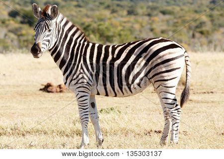 Looking Pretty - Burchell's Zebra