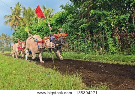 Running bulls decorated by ceremonial barong mask beautiful decoration in action on traditional balinese water buffalo races Makepung. Arts festivals in Indonesia Bali island people ethnic culture.