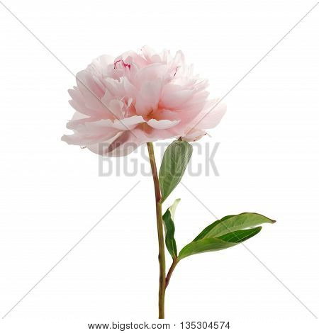 Light pink peony isolated on white background
