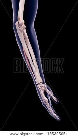 3d rendered, medically accurate illustration of the extensor digiti minimi