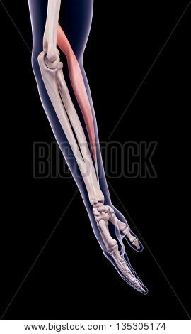 3d rendered, medically accurate illustration of the brachioradialis