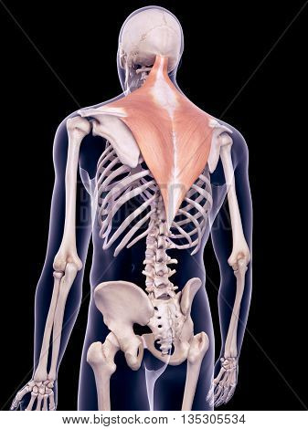 3d rendered, medically accurate illustration of the trapezius