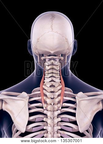 3d rendered, medically accurate illustration of the longissimus cervicis