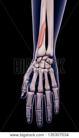 3d rendered, medically accurate illustration of the extensor pollicis brevis