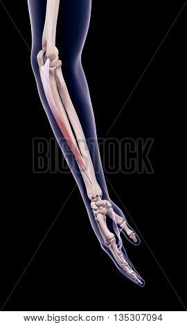 3d rendered, medically accurate illustration of the flexor carpi ulnaris