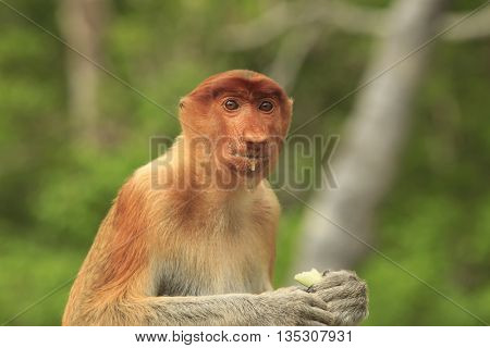 Proboscis monkey female, eating fruit