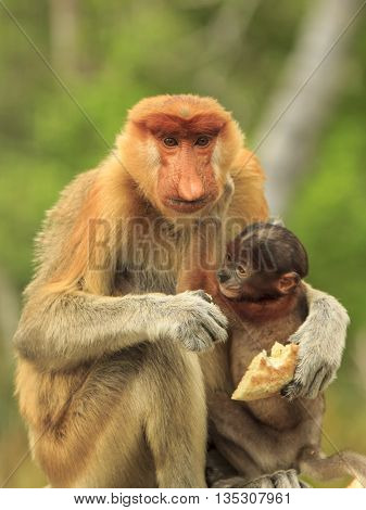 Proboscis monkeys baby and mother