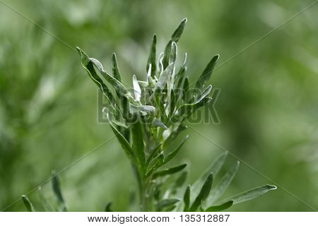 Leaves of absinthe wormwood plants (Artemisia absinthium) poster