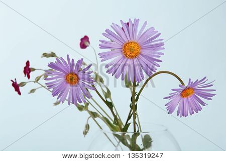 Aster amellus flowers closeup in glass vase. Close view of purple aster and other flowers at blue background. Violet Aster daisy alike bouquet. Flower background.