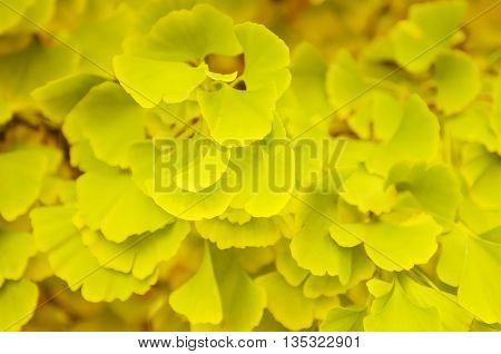 Green and yellow fall leaves of Gingko Biloba - healing plant, nature autumn sunny background