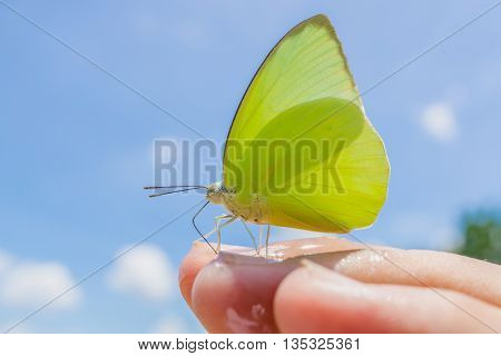 yellow Butterfly on finger in nature blue sky background Catopsilia pomona